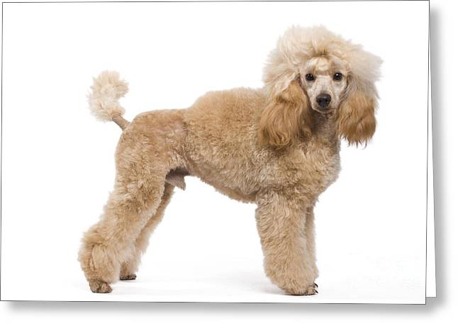 Apricot Greeting Cards - Miniature Poodle Greeting Card by Jean-Michel Labat