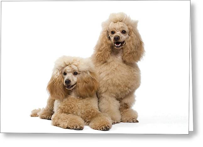 Apricot Greeting Cards - Miniature Poodles Greeting Card by Jean-Michel Labat