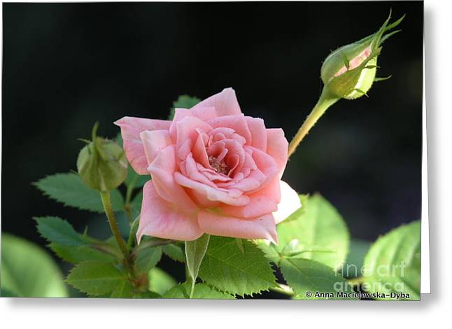 Anna Maciejewska-dyba Greeting Cards - Miniature rose Greeting Card by Anna Folkartanna Maciejewska-Dyba