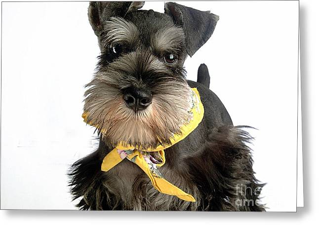 Miniature Mixed Media Greeting Cards - Miniature Schnauzer Puppy  Greeting Card by Marvin Blaine