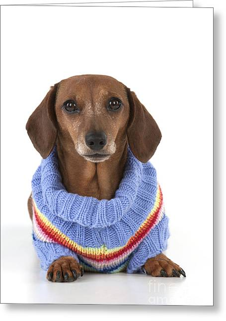 Dog Sweaters Greeting Cards - Miniature Short-haired Dachshund Greeting Card by John Daniels