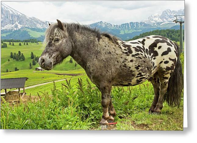 Miniature Spotted Pony Greeting Card by Bob Gibbons