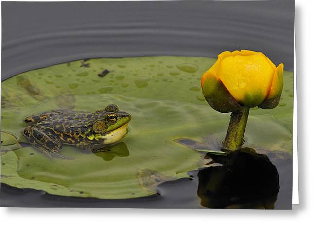 Mink Greeting Cards - Mink Frog on Lilypad  Greeting Card by Tony Beck