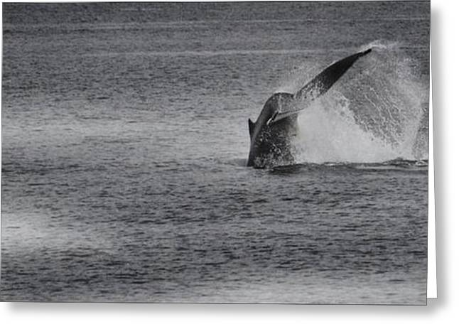Ocean Mammals Greeting Cards - Minke Whale I Greeting Card by Gail Bridger