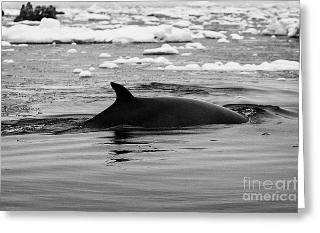minke whale with marked notched dorsal fin and yellow diatom marking with tourist zodiac boats in th Greeting Card by Joe Fox