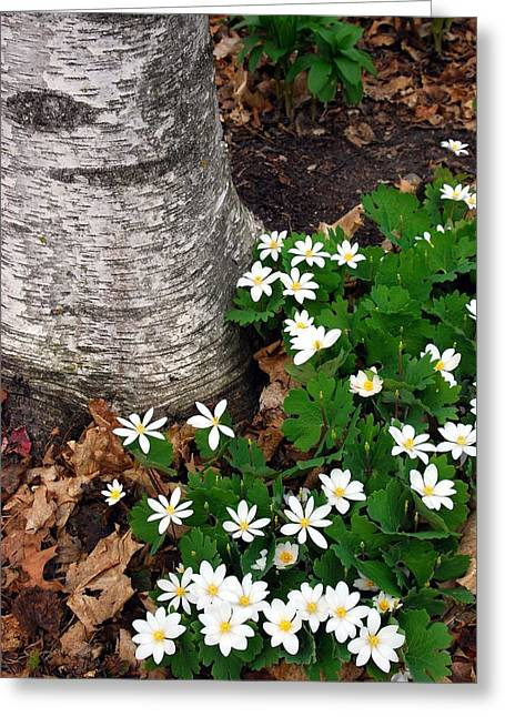 Bloodroot Greeting Cards - Minnesota Birch and Bloodroot Wildflowers Greeting Card by Cascade Colors