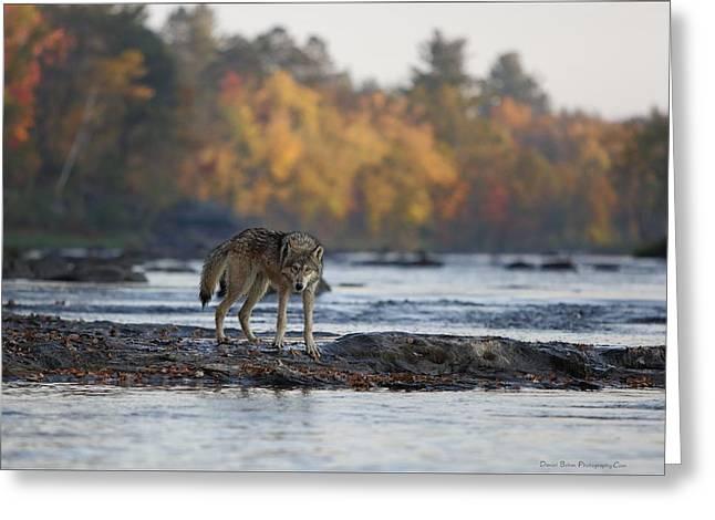 Minnesota Gray Wolf Greeting Card by Daniel Behm