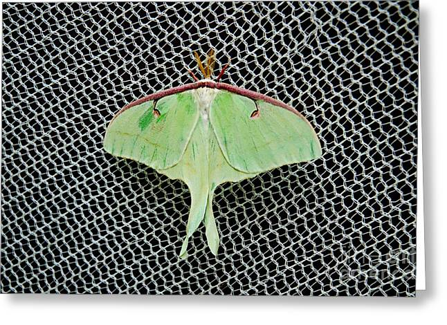 Luna Greeting Cards - Mint Green Luna Moth Greeting Card by Andee Design