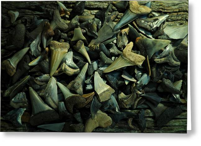 Mako Shark Greeting Cards - Miocene Fossil Shark Tooth Assortment Greeting Card by Rebecca Sherman