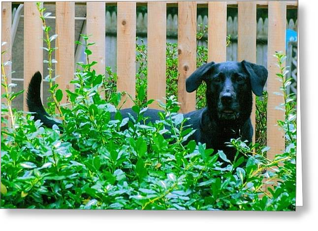 Old Lab Greeting Cards - Miss You Riley Greeting Card by Laura Lee Zanghetti
