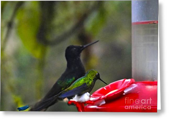 Racquet Photographs Greeting Cards - Mister Santa Pants    Mindo Hummingbird Greeting Card by Al Bourassa