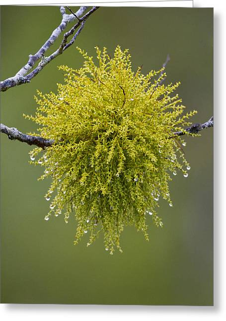 Christmas Symbols Greeting Cards - Mistletoe and Dew Greeting Card by Tim Grams