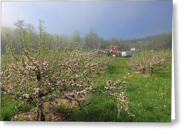 Misty Apple Blossoms Greeting Card by John Burk