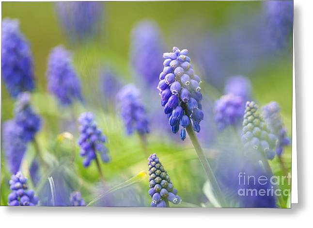 Spring Bulbs Greeting Cards - Misty Blues 2 Greeting Card by Sharon  Talson