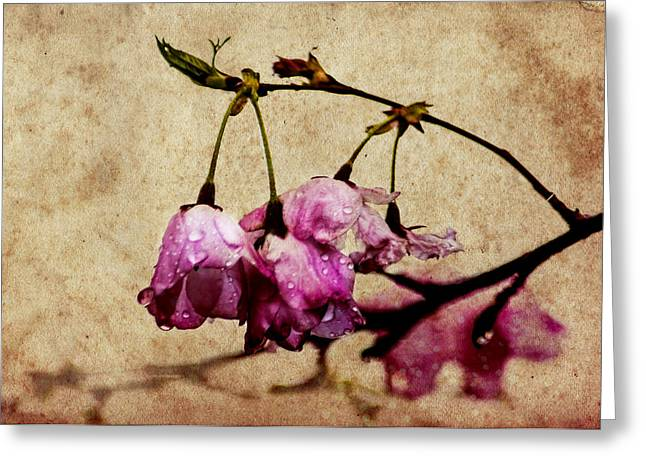 Misty Cherry Blossoms Greeting Card by Jon Woodhams