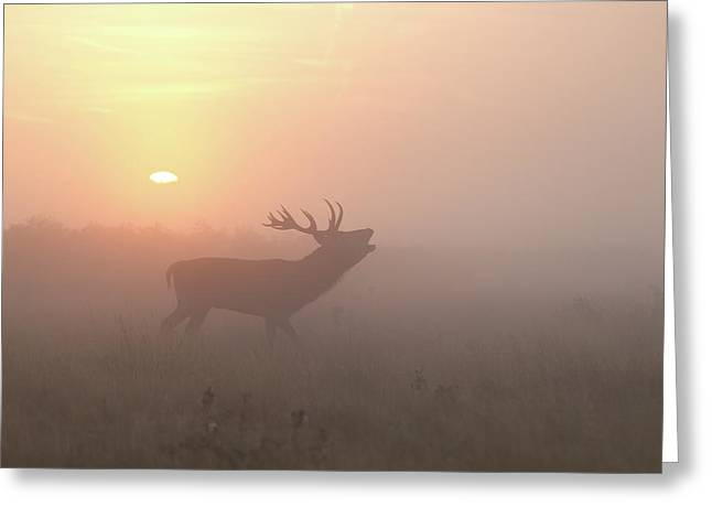 Misty Morning Stag Greeting Card by Greg Morgan