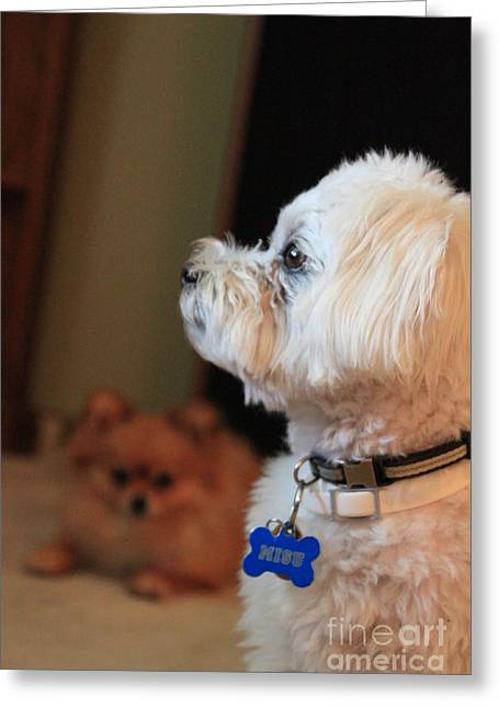 Toy Maltese Photographs Greeting Cards - Misu the Maltese Terrier Greeting Card by Jennifer Doll