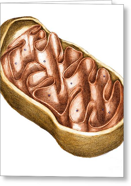 Triphosphate Greeting Cards - Mitochondria Greeting Card by Spencer Sutton