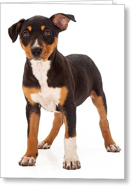 Full-length Portrait Greeting Cards - Mixed Breed Puppy Ear Up Greeting Card by Susan  Schmitz