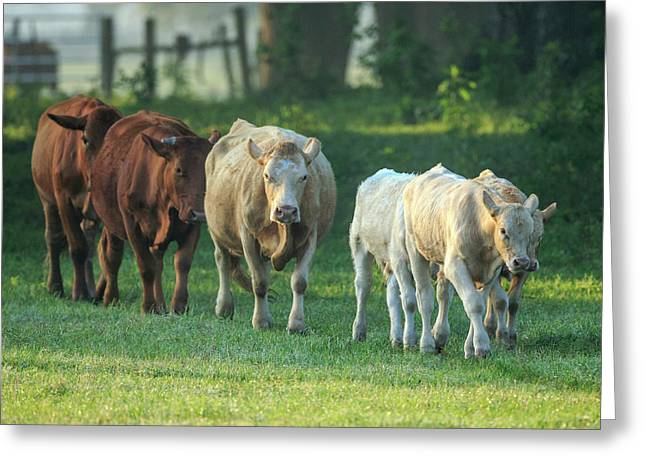 Mixed Cattle Coming For Water, Florida Greeting Card by Maresa Pryor