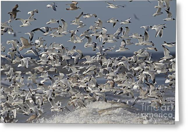 British Fauna Greeting Cards - Mixed Gull Flock Greeting Card by Neil Bowman FLPA