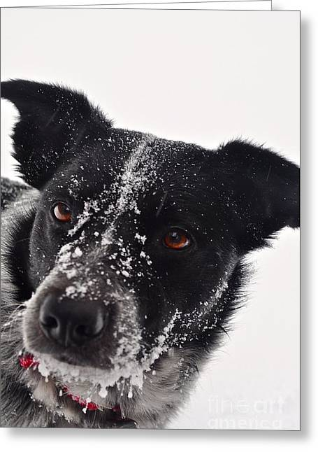 Dog In The Snow Greeting Cards - Mo in the Snow Greeting Card by Susan Chesnut