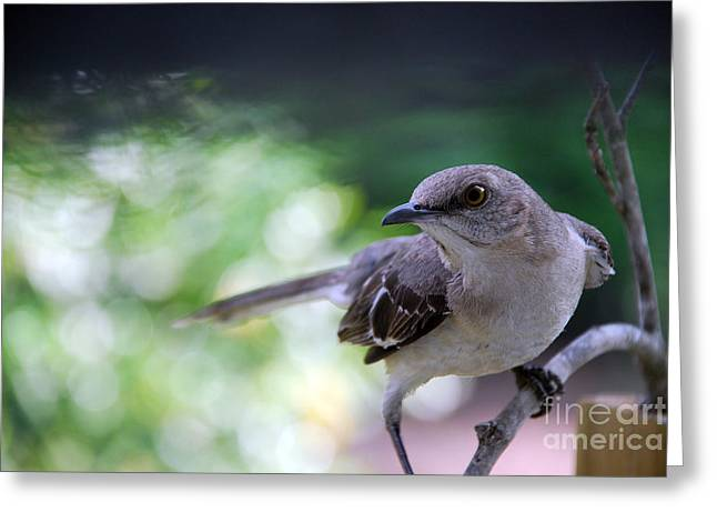 Photos Of Birds Greeting Cards - Mocking U Greeting Card by Skip Willits