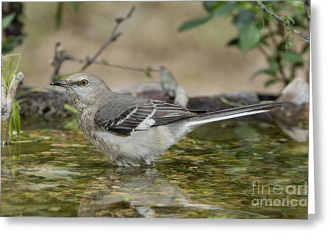 Mockingbird Greeting Card by Anthony Mercieca