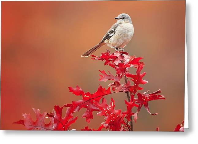 Mockingbird Autumn Square Greeting Card by Bill Wakeley