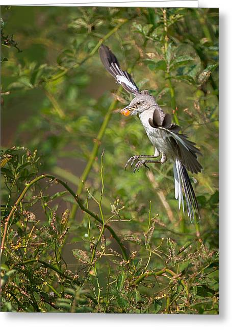 Mockingbird Greeting Card by Bill Wakeley