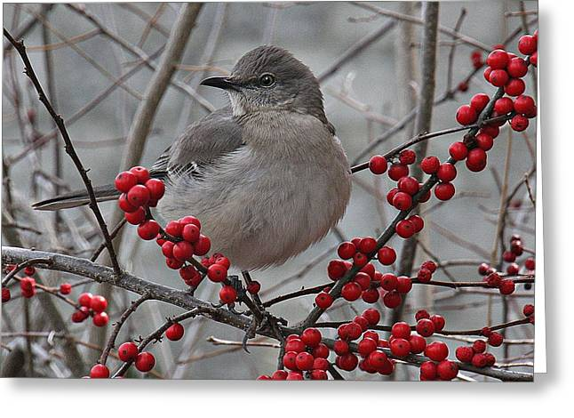 Stein Greeting Cards - Mockingbird. in Berry tree looking sideways. Greeting Card by Valerie Stein