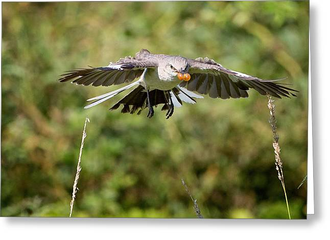 Mockingbird In Flight Greeting Card by Bill Wakeley