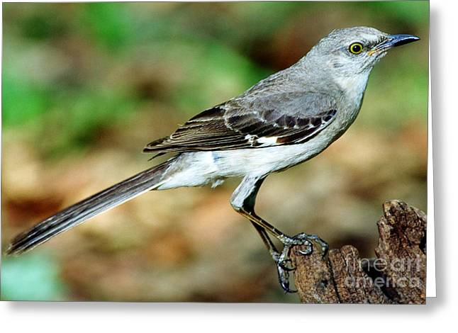 Mockingbird Greeting Card by Millard H. Sharp