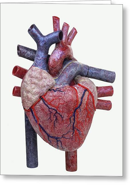 Model Of A Human Heart Greeting Card by Dorling Kindersley/uig