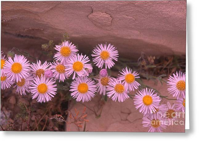 Aster Greeting Cards - Mojave Aster Greeting Card by Mark Newman
