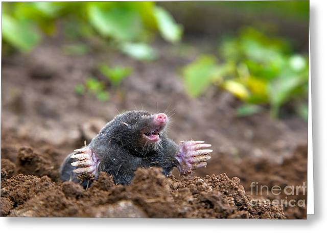 Lugs Greeting Cards - Mole in ground Greeting Card by Michal Bednarek