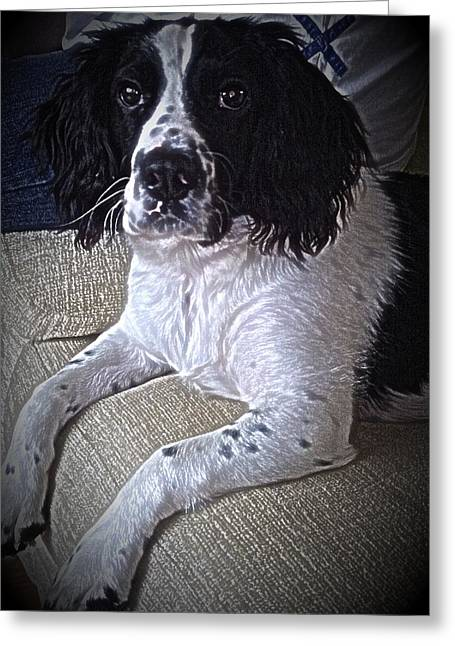 Dogs Pyrography Greeting Cards - Molly the Springer  Greeting Card by Robert Carter