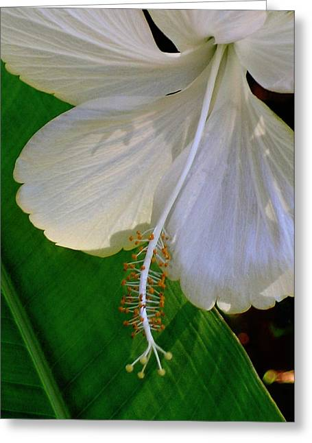 Molokai Greeting Cards - Molokai White Hibiscus Greeting Card by James Temple
