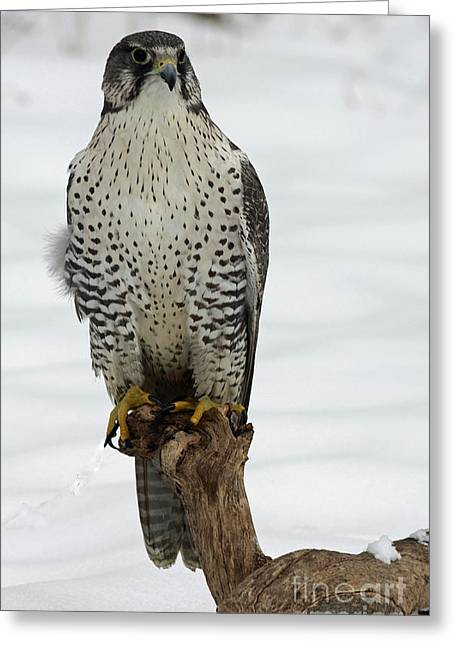 Moments Of Stillness Gyrfalcon In The Snow Greeting Card by Inspired Nature Photography Fine Art Photography