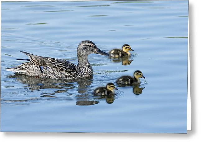 Ducklings Greeting Cards - Momma and the Triplets Greeting Card by Gary Langley