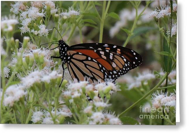 Cocoon Greeting Cards - Monarch Among White Flowers Greeting Card by Chuck Buckner