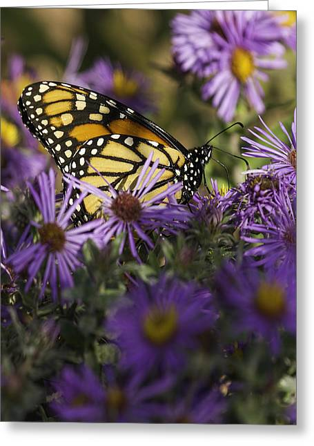Asters Greeting Cards - Monarch and Asters Greeting Card by Thomas Young