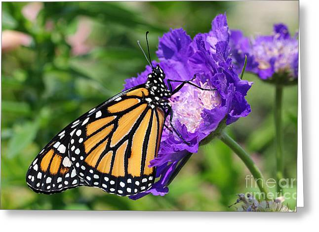 Monarch And Pincushion Flower Greeting Card by Steve Augustin