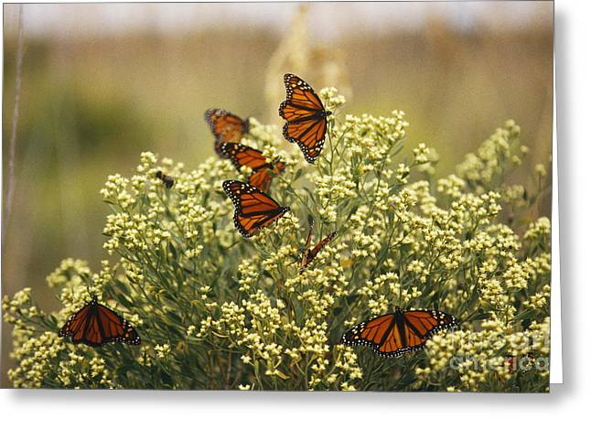 Danaus Plexippus Greeting Cards - Monarch Butterflies Greeting Card by James L. Amos