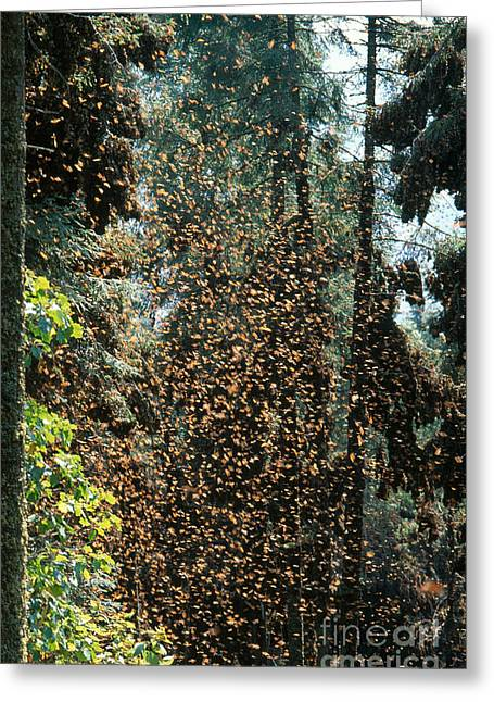 Butterfly In Flight Greeting Cards - Monarch Butterflies Overwintering Greeting Card by Gregory G. Dimijian, M.D.