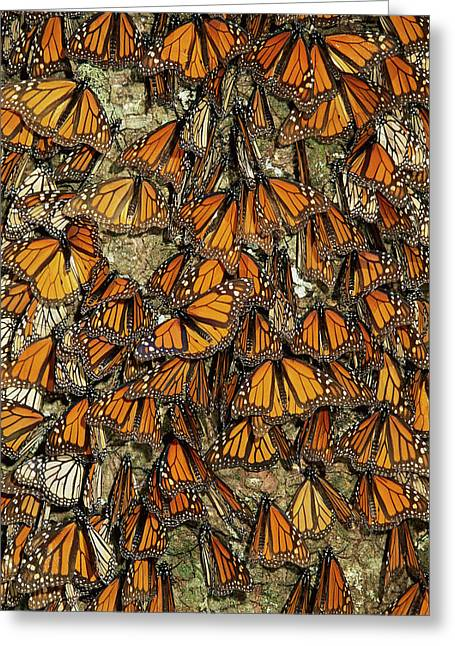 Roost Photographs Greeting Cards - Monarch Butterflies Wintering Greeting Card by Thomas Marent
