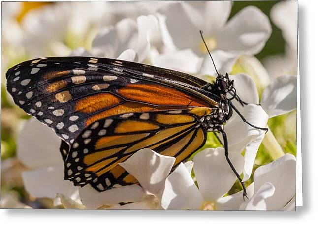 Close Up Floral Greeting Cards - Monarch Butterfly Greeting Card by Adam Romanowicz