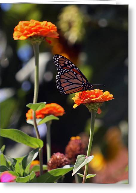 Kkphoto1 Greeting Cards - Monarch Butterfly And Orange Zinnias Greeting Card by Kay Novy