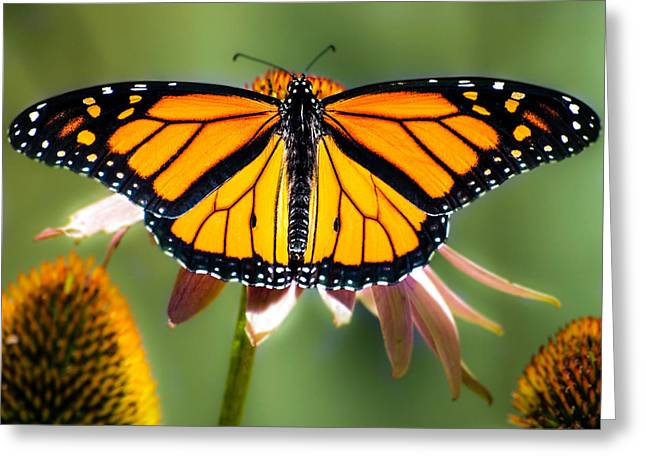 Monarch Greeting Cards - Monarch Butterfly Greeting Card by Bob Orsillo
