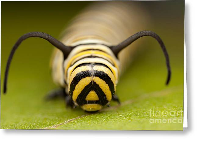 Danaus Plexippus Greeting Cards - Monarch Butterfly Caterpillar I Greeting Card by Clarence Holmes